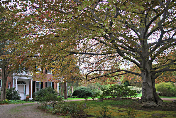 Circular driveway and Cooper Beech tree