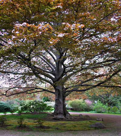 Cooper Beech Tree at Long Hill