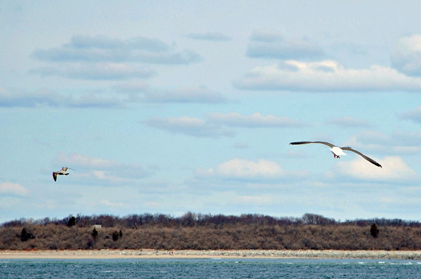 Seagull at Crane Beach